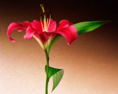 Oriental Lily 2