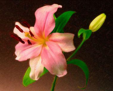 Oriental Lily 3