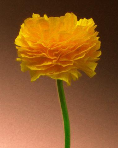 Ranunculus 2